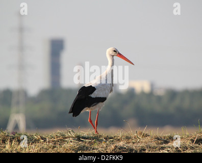 European White Stork (Ciconia ciconia) walking in a summer meadow, in background Hoogkerk - Groningen Sugar Refinery - Stock Photo