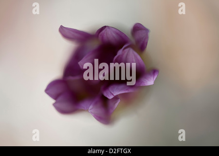 A purple Gazania daisy in soft focus, view from above - Stock Photo