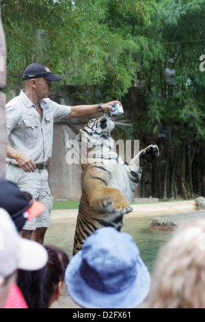 Tiger is Drinking Milk from Carton held by the Zoo Keeper - Stock Photo