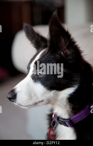 A border collie dog, head and shoulders - Stock Photo