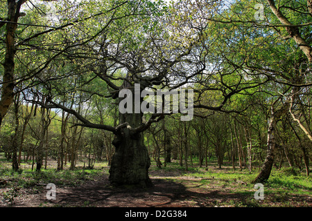 Ancient Great Oak Trees Quercus robur in Spring Green Woodland, Sherwood Forest SSSI, Nottinghamshire, England, - Stock Photo