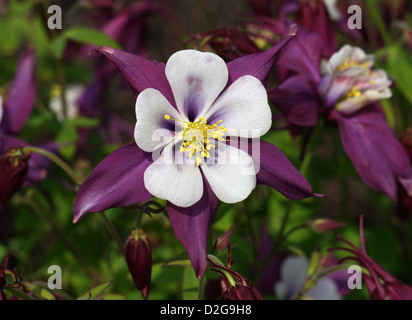 Colorado Blue Columbine, Aquilegia caerulea 'Swan Lavendar', Ranunculaceae. Cultivar of Garden Origin. - Stock Photo