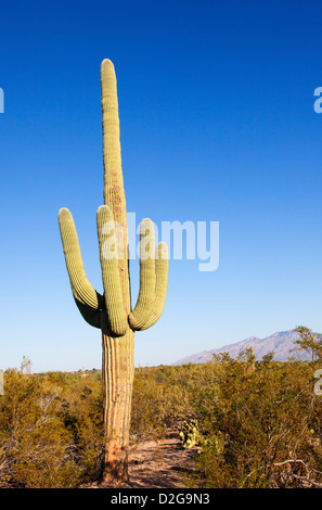 Giant Cactus in Saguaro N.P. , Arizona, USA - Stock Photo
