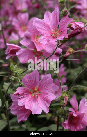 Mallow, Lavatera olbia 'Rosea', Malvaceae. - Stock Photo