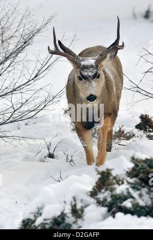 A mule deer buck walking forward through the deep snow in Jasper National Park, Alberta, Canada. - Stock Photo