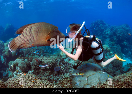 Humphead Wrasse Cheilinus undulat and A Femal Diver Kissing Underwater, Great Barrier Reef, Coral Sea, Queensland, - Stock Photo