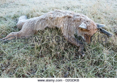 Frost covering the remains of a Red fox (Vulpes vulpes) shot by gamekeepers - Stock Photo