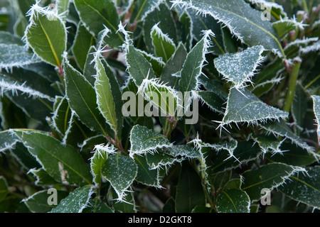 Evergreen Bay shrub in frost - Stock Photo