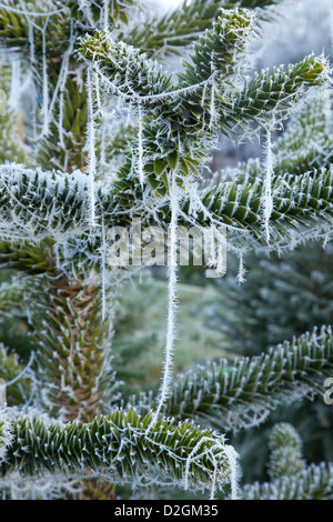 Close-up of frost and cobwebs on conifer Christmas tree - Stock Photo