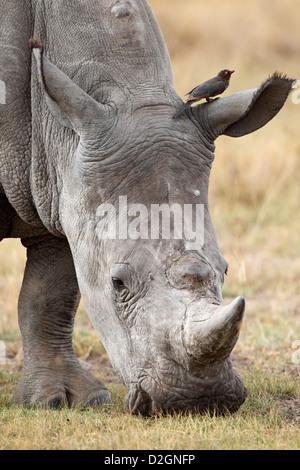 White Rhino grazing, Lake Nakuru Nationalpark, Kenya. - Stock Photo