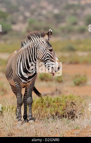 Grevy's zebra, Equus grevyi, Samburu National Park, Kenya - Stock Photo