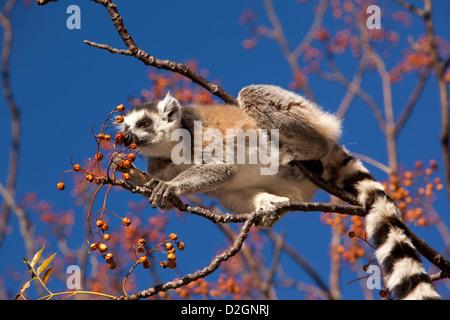 Madagascar, Ambalavao, Reserve d'Anja, Ringtailed Lemur, feeding on berries in lilla tree - Stock Photo
