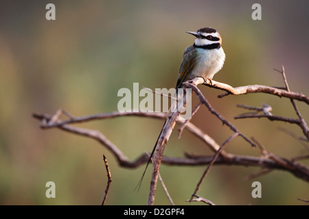 White Throated Bee-eater Merops albicollis hunitng insects from perch at Samburu NR Kenya East Africa - Stock Photo