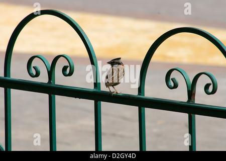 A Rufous Collared Sparrow perched on an iron fence in a park in Cotacachi, Ecuador - Stock Photo