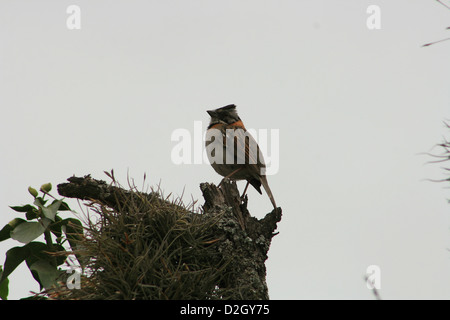 A Rufous Collared Sparrow perched on the top of the tree in Cotacachi, Ecuador - Stock Photo