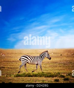 Zebra on savanna, Africa. Safari in Serengeti, Tanzania - Stock Photo