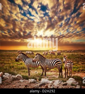 Zebras herd on savanna at sunset, Africa. Safari in Serengeti National Park, Tanzania - Stock Photo