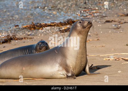 Northern elephant seal mother and pup on beach-Piedras Blancas, California, USA. - Stock Photo
