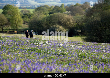 An open field of Bluebell flowers in Spring time in the South East of England. - Stock Photo