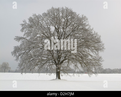 single big oak at winter in snow - Stock Photo