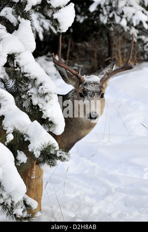 A mule deer buck peeking around some fir tree branches - Stock Photo
