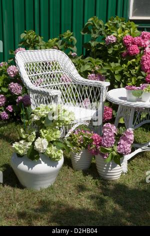 Sunny day in the Hydrangea garden - Stock Photo