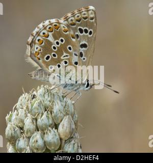 Chalkhill blue (Polyommatus coridon) - Stock Photo