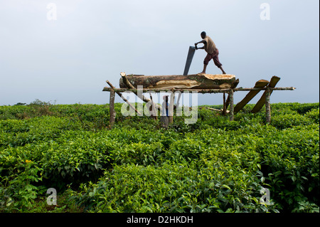 Sawing wood in the tea plantation on the edge of Nyungwe Forest National Park, Rwanda - Stock Photo