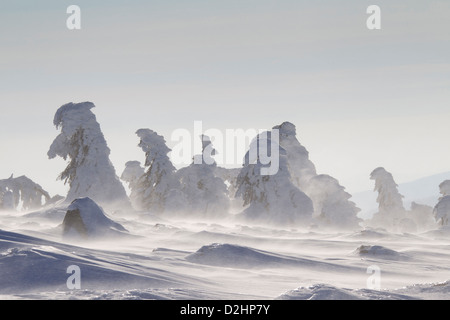 Snow covered Norway Spruces (Picea abies) on the summit of the peak Brocken. Saxony-Anhalt, Harz, Germany - Stock Photo