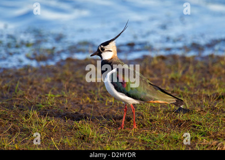 Northern Lapwing (Vanellus vanellus) foraging on lake shore of wetland - Stock Photo