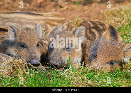 Three wild boar (Sus scrofa) piglets sleeping huddled together in forest in spring, Germany - Stock Photo