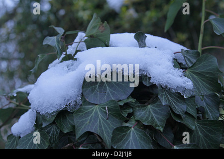 Snow resting on an Ivy bush in a wood in England - Stock Photo