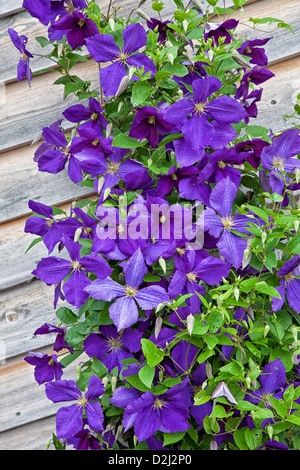 A beautiful hybrid purple flowering Jackman clemantis growing on a trellis on the side of a wooden building. - Stock Photo