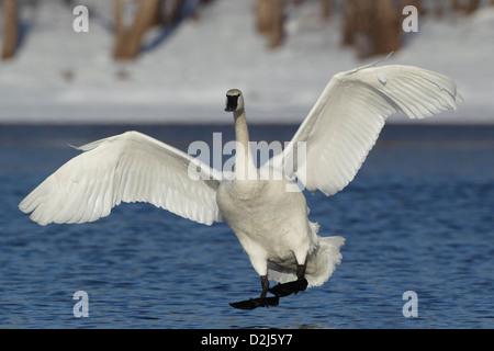 Trumpeter Swan (Cygnus buccinator) - Stock Photo