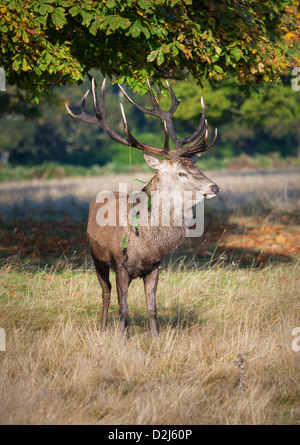 A male Red Deer stag poses in the later winter sunshine with vegetation hanging from his antlers during the annual - Stock Photo