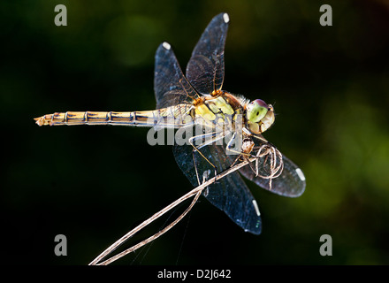 A male Common Darter dragonfly (Sympetrum striolatum) perches on top of vegetation in Conigre Mead Nature Reserve. - Stock Photo