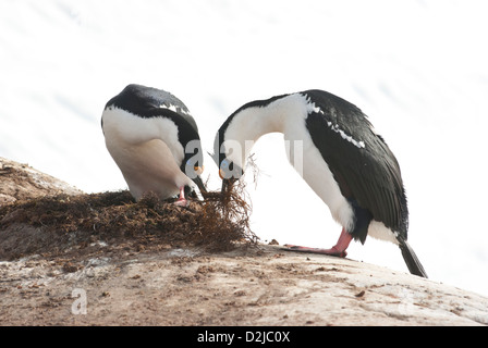 Male and female Antarctic blue-eyed cormorant build a nest in early spring. - Stock Photo