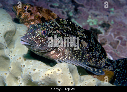 Eastern Kelpfish at Bass Point - Stock Photo