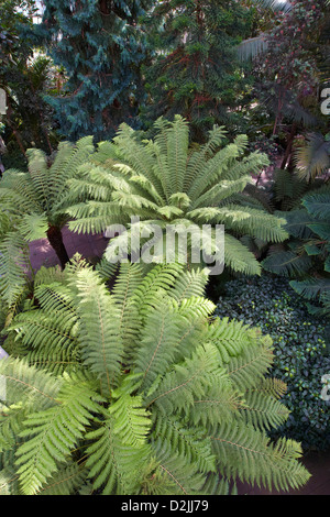 Ferns in the Temperate House, Kew Gardens, London, UK - Stock Photo