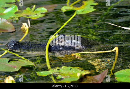 A Florida alligator in its natural habitat. The Everglades National Park, Florida, USA. - Stock Photo