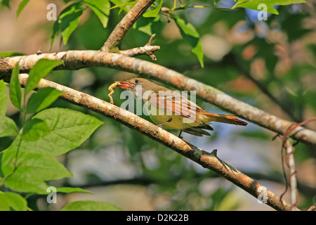 Great Crested Flycatcher (Myiarchus crinitus) eating frog - Stock Photo
