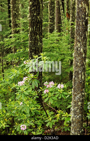 Pacific rhododendrons blooming in forest, Mount Walker, Quilcene, Jefferson County, Washington, USA - Stock Photo