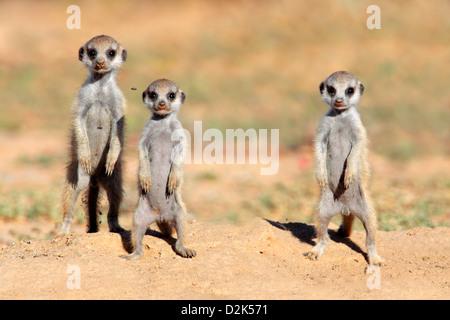 Cute meerkat babies (Suricata suricatta), Kalahari desert, South Africa - Stock Photo