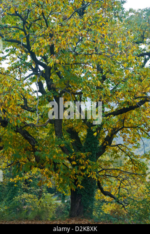Chestnut tree with autumn leaves - Stock Photo