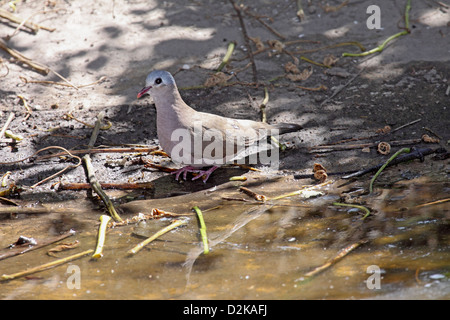 Blue spotted wood dove in The Gambia - Stock Photo