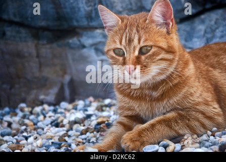 Ginger cat lying on pebble beach - Stock Photo
