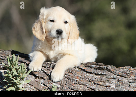 Dog Golden Retriever puppy lying on a wood - Stock Photo