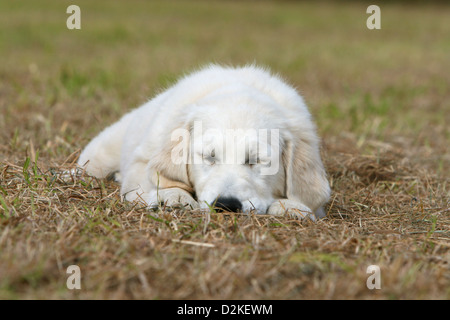 Dog Golden Retriever puppy sleeping on the ground - Stock Photo