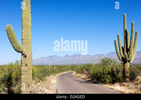 Giant Cacti in Saguaro N.P. , Arizona, USA - Stock Photo