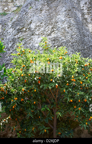 Kumkwat oranges growing on tree in Limone Lake Garda Italy - Stock Photo